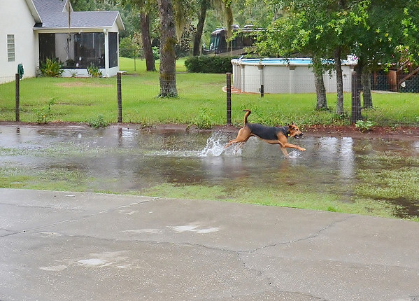 Finally some decent rain , 3 1/2 inches in less than an hour , but no one is complaining....plus Hank is having a good time.